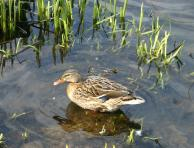 Duck at Kinneil