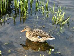 Duck at Kinneil