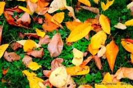 Fallen leaves at Kinneil